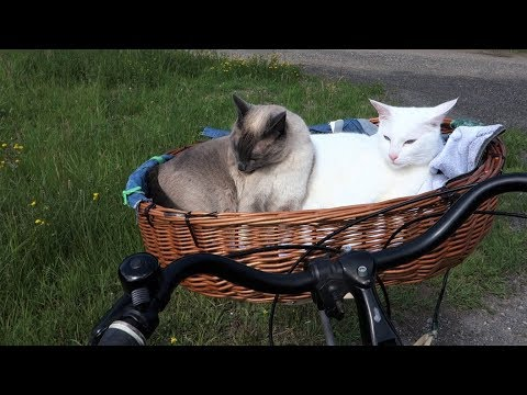 Siamese Cats grooming themselves in a bike basket (after going on a walk)