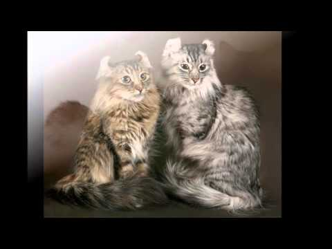 Beautiful photos of cats of breed American Bobtail