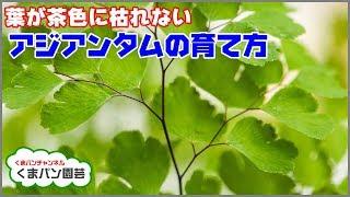 葉が茶色に枯れないアジアンタムの育て方・ベラボン仕立て【くまパン園芸】