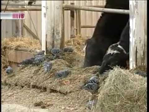 видео: Холодный_метод_содержания_коров.flv