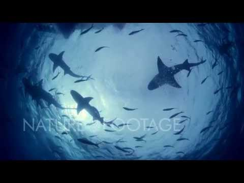 Sharks in Ultra HD 4K Resolution! - NatureFootage Collection