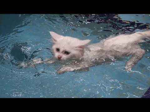 Van cats enjoy swimming in custom-made pools in Turkey