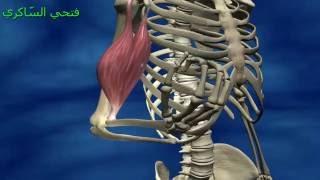 إيقاظ علمي : الجهاز العضلي