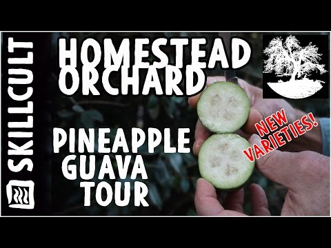 Pineapple Guava Tour, New Seedling Varieties From a Feijoa Collector and Breeder