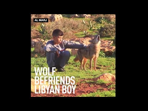 Libyan boy befriends African Golden Wolf & teaches it to herd sheep