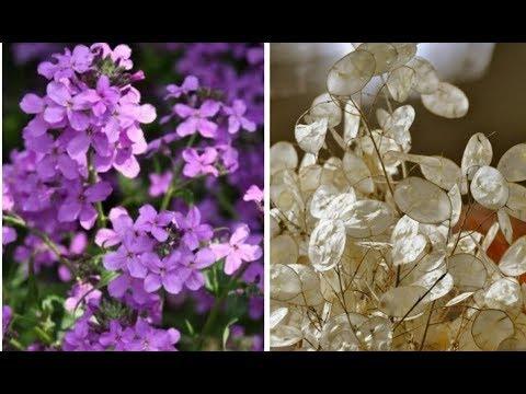 Sedef Çiçeği, Para Çiçeği, Lunaria Annua Yetiştirilmesi Ve Bakımı