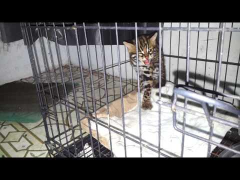 Kucing hutan baru
