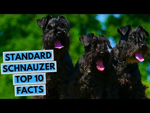 Standard Schnauzer - TOP 10 Interesting Facts