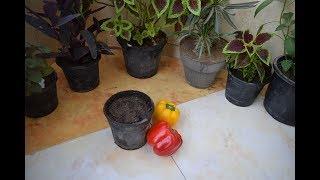 طريقة زراعة الفلفل الالوان من البذور من فلفل موجود بالثلاجة