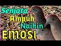 Panggilan Perkutut Lokal Jago Naikin Emosi Lawan Jadi Bersuara  Mp3 - Mp4 Download