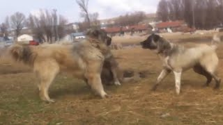 Kangal vs 2 Caucasian Ovcharka Here is The Proof Who is the Best?