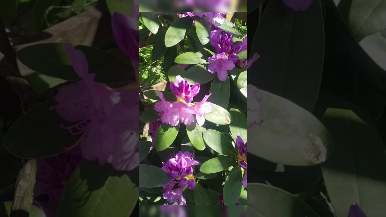 Как цветут рододендроны в моём саду.