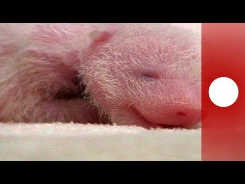 çinde Yeni Doğan Panda Ilgi Topluyor Youtube