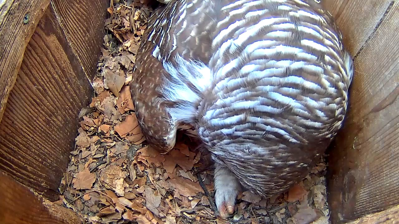 Female Barred Owl Shows Eggs and Talons During Preening ...