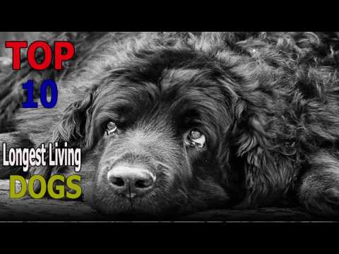 Top 10 longest living dog breeds | Top 10 animals