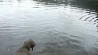 Weimaraner Water Retrieve