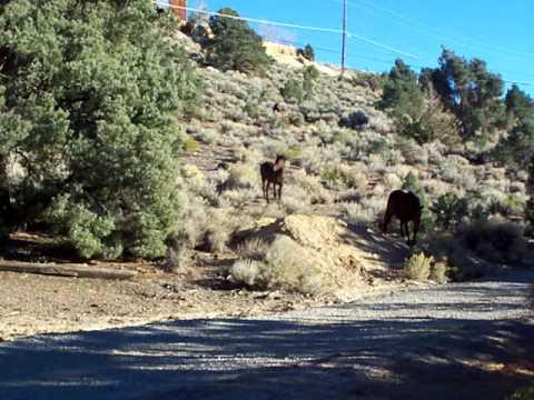 Wild Horses of the Virginia Range