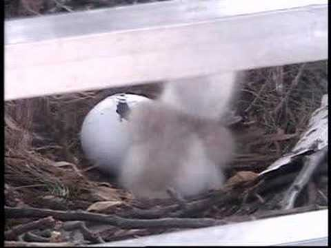 Hawk #2 begins to hatch on KJRH-TV tower