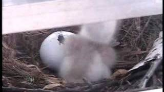 hawk 2 begins to hatch on kjrh tv tower