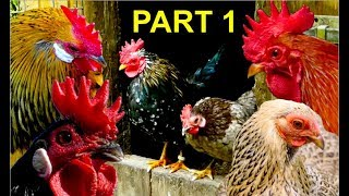 Top10 MOST BEAUTIFUL BANTAM CHICKENS Part 1: Serama, Wyandotte, Brahma, Leghorn bantams