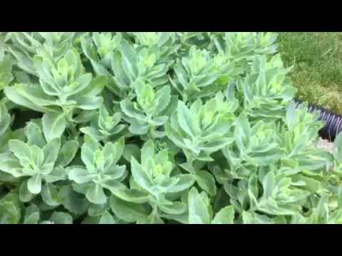 Succulent Gardening! Sedum Autumn Joy in Early Summer