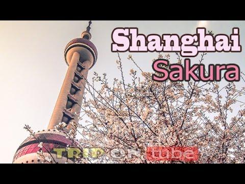 Trip on tube : Chasing Sakura (逐樱花) Episode 1 - Shanghai [50fps]
