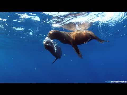 Sea lion eating a mola mola