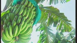 Eco Bananas - Red tipped bananas grown in Australia under the Ecoganics protocol