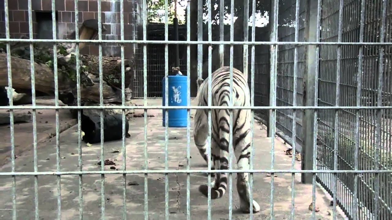 white bengal tiger roaring at the henry doorly zoo.mp4 - youtube
