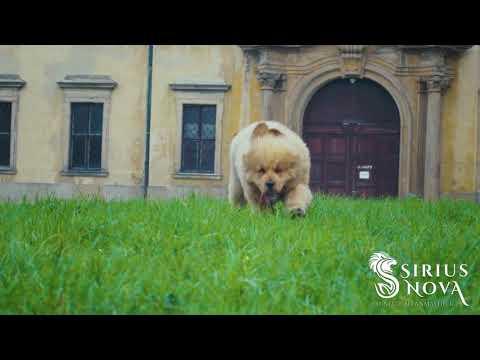 Tibetan mastiff puppies enjoying a walk