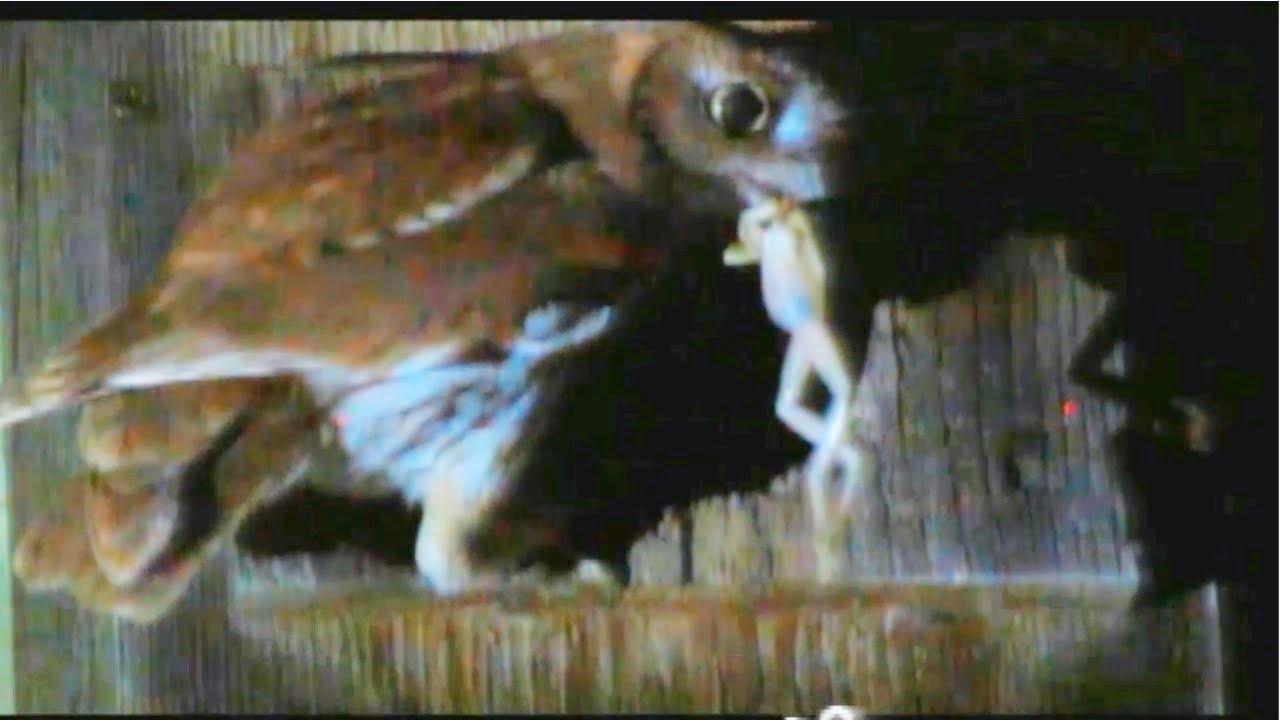 what do eastern screech owls eat
