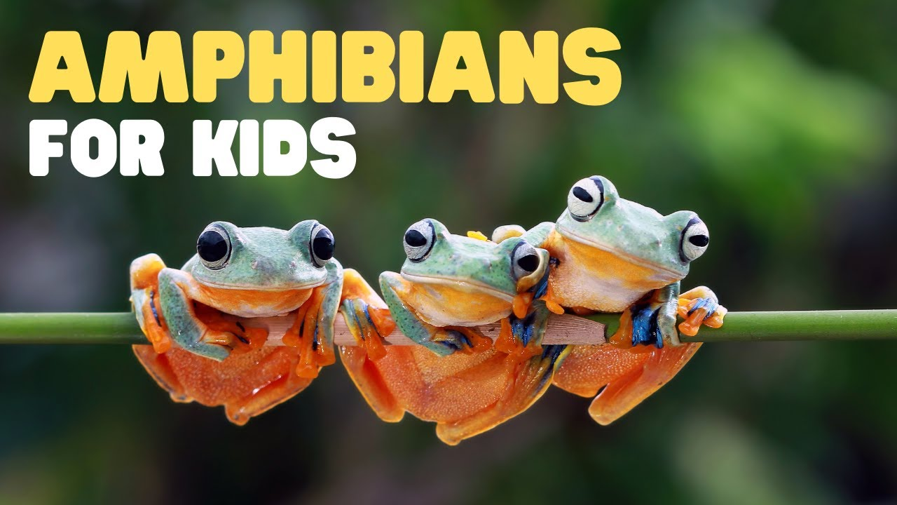 medium resolution of Amphibians for Kids   What is an Amphibian?   Learn the characteristics of  amphibians - YouTube