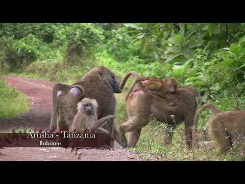 Baboons family traveling through Arusha national park Tanzania