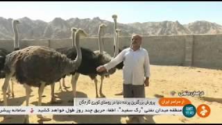 Iran Ostrich farming & Egg handling, Garej-gan village, Khousf پرورش شترمرغ روستاي گارجگان خوسف
