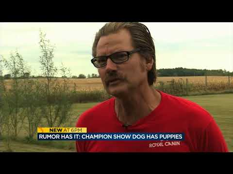 Championship show dog Rumor has puppies