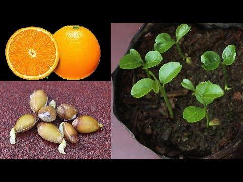 Grow Orange Seed Fast & Easy Way