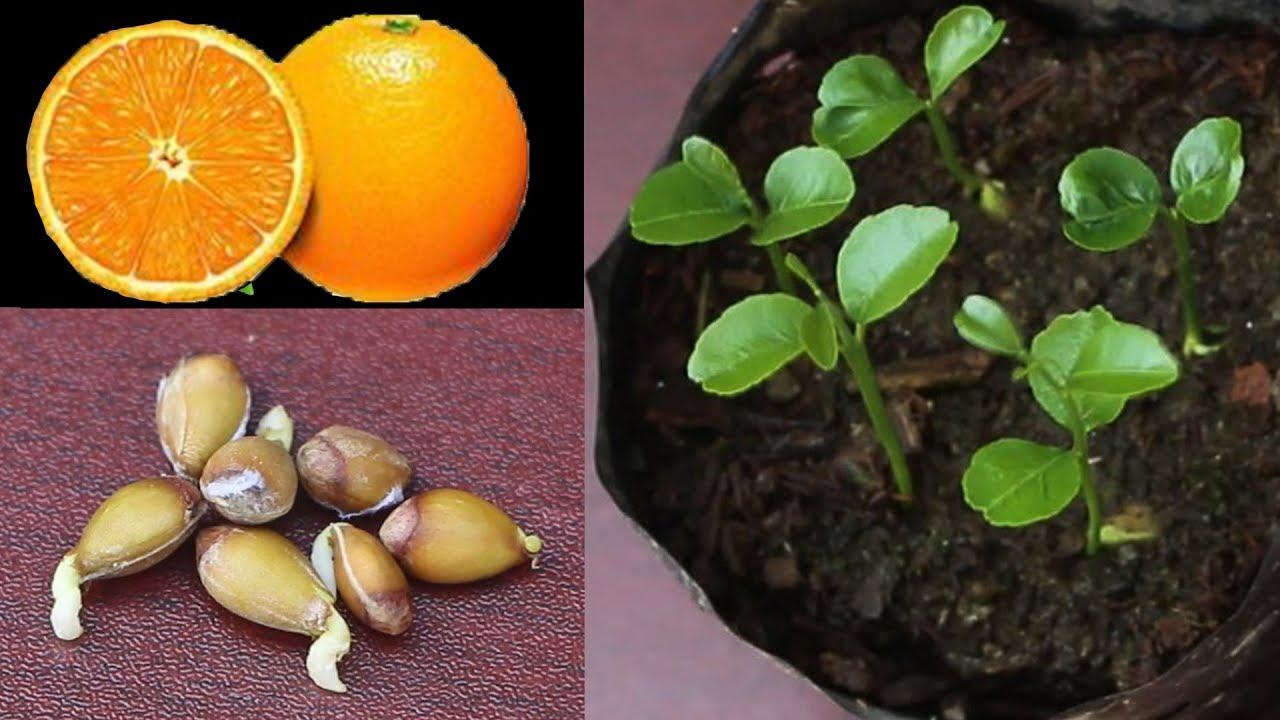 Image result for orange seed
