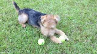 Lakeland Terrier Puppy Playing in the Backyard