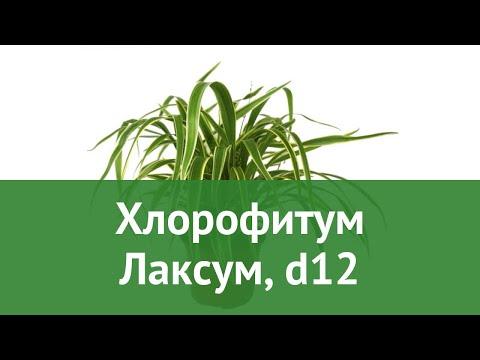 Хлорофитум Лаксум, d12 обзор ЦКР0334 бренд производитель