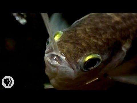 "Archerfish Says...""I Spit in Your Face!"" 