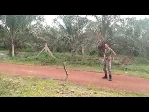 Brave Army Catch King Cobra