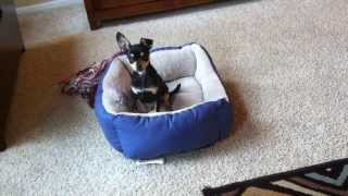 Miniature Pinscher  Puppy Dog Humping His Bed Skipper Cole