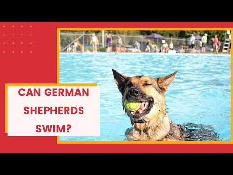 can-german-shepherds-swim?-do-german-shepherds-like-water?