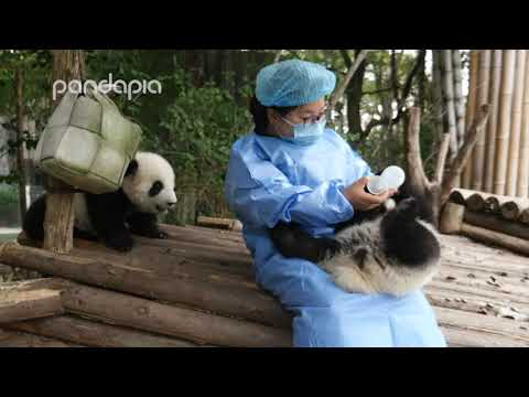 Nanny Mei feeding baby panda