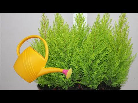 Полив и удобрение комнатного кипариса. Как правильно поливать и чем удобрять?
