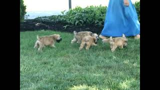Soft Coated Wheaten Terrier Puppies For Sale Leroy Stoltzfus