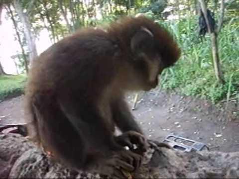 Pet Monkey in Congo