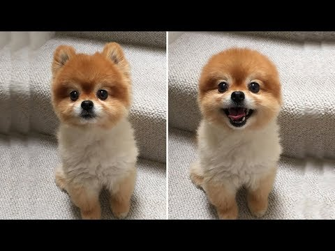 Teddy Bear Dogs - Dogs Look Like Teddy Bears - Video Compilation