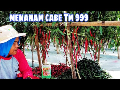 Cara Menanam Bibit Cabe Tm999 Agar Panen Melimpah