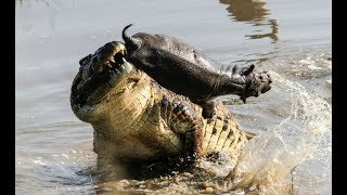 Crocodile attacks Hippo deer antelope leopard - Animal attack